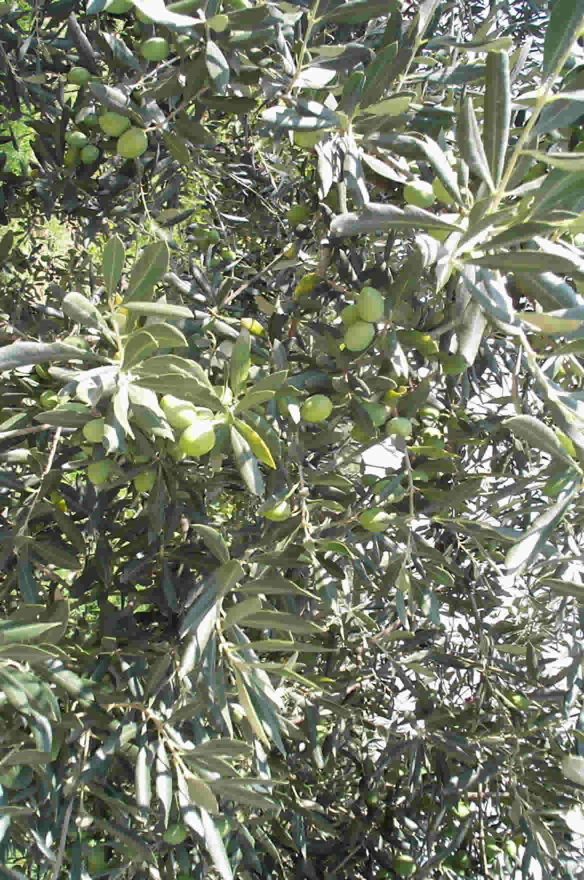 how to grow an olive tree from a pip